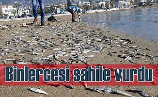 Binlerce gümüş balığı sahile vurdu