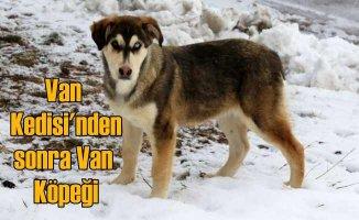 Van köpeği | Sahibinin can dostu, parlak ve yumuşak tüyleri kürk gibi