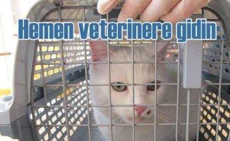 Kedi hastalıklarına dikkat, bu belirtiler varsa veterinere baş vurun