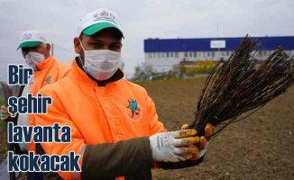 Lüleburgaz lavanta kokacak | Belediye kendi çiçeğini yetiştirecek