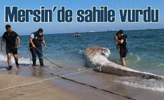 Plastik atıkları mı öldürdü | Dev balina Mersin'de sahile vurdu