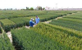 Tekfen Tarım'dan Türk çiftçisine3 yeni yerli buğday çeşidi