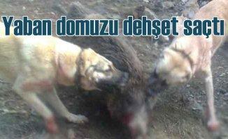 Domuzlar koyun sürülerine saldırdı, köpekleri yaraladı