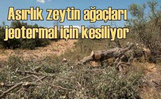 Asırlık Zeytin Ağaçları Yaşam Mücadelesi Veriyor