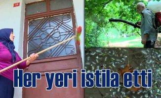 İstanbul'da tırtıl istilası | Beykoz'da başladı, vatandaşlar tedirgin