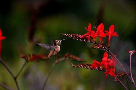 Hummingbird nedir?