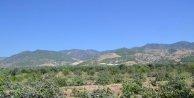 Buharkentteki incir ağaçlarına jeotermal darbesi