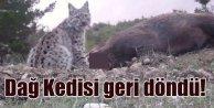 Dağ Kedisi Avrasya Vaşağı ilk kez görüntüledi..
