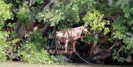 Ermenistan'a kaçan inek, protokolle teslim edildi
