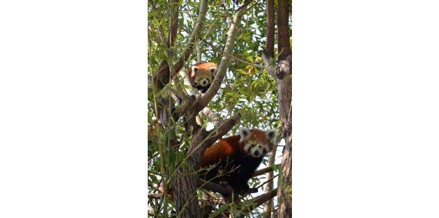Kızıl panda Lale,Jale ve Hale'ye eş aranıyor
