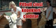 Köpek Barınağı'ndan Pitbull köpekleri çaldılar