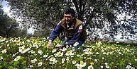 Manisa'da ağaçlar, yalancı baharla çiçek açtı
