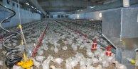 Tavuk çiftliğinde elektrik üretip fazlasını devlete satacak