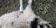 Yaylada kurtların saldırısı sonucu 30 koyun telef oldu