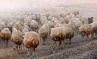 Sürüden ayrılan koyunları kurtlar kaptı
