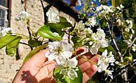 Armut ağacı çiçek açtı