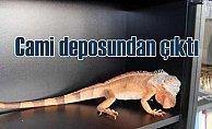 Camii deposunda 82 santim uzunluğunda iguana çıktı