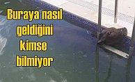 Lüks sitenin yüzme havuzundan buzağı çıktı