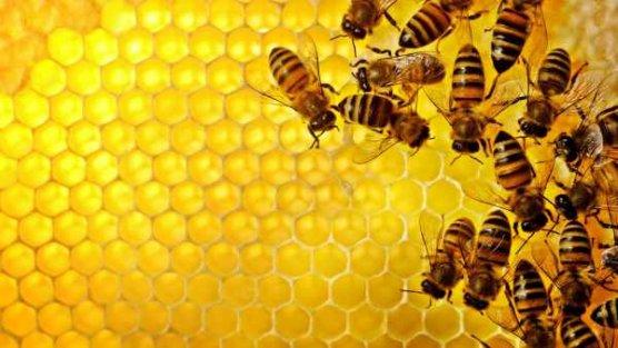 Arılar kafein bağımlısı çıktı ; Arıları da kendimize benzettik