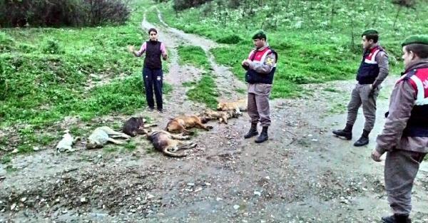 Zehirli sakatatla 7 köpek telef edildi